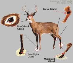 Deer Gland and where to locate them.